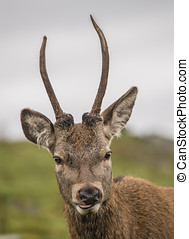 Red deer stag portrait in the Highlands of Scotland