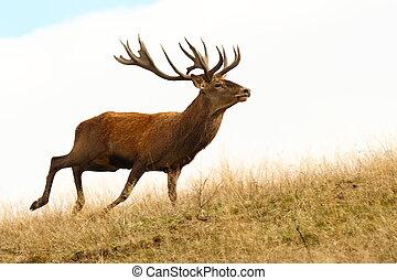 red deer stag running
