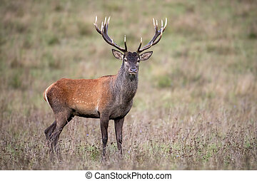 Red deer stag standing and watching on a meadow with dry grass in autumn