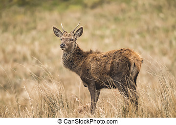 Red deer stag standing in a field