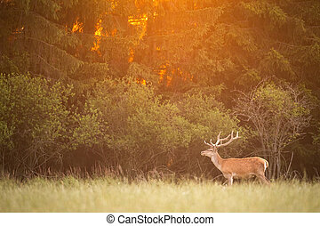 Red deer stag standing on a meadow in front of forest in summer nature at sunset