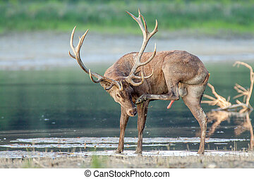 Red deer stag in water.