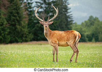 Red deer stag with antlers in velvet on a meadow