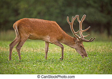 Red Deer, Cervus elaphus, stag with growing antlers covered in velvet. Wild animal in grass land with green blurred background during a fresh spring. Colorful peacful wildilfe scenery.