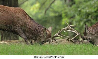 Red Deer stags dueling - Pair of Red Deer stags (Cervus...
