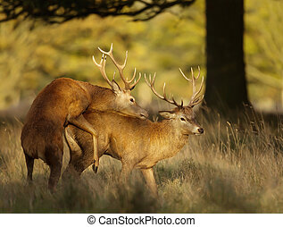 Red deer stags during the rutting season