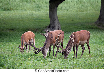 Red Deer stags grazing on grassland in Surrey