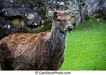 Red deer standing