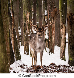 red deer between trees in a forest with snow