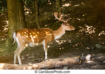 Red Deer in evening Sun