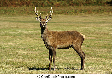 Red Deer stands in open ground facing camera