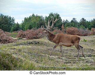 Red deer walking across a heath