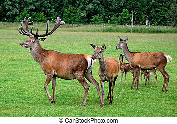 Red deer - Wildlife