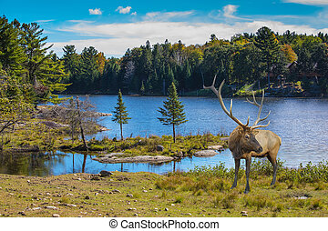 Red deer with branchy horns at the lake. Small lake in the ...