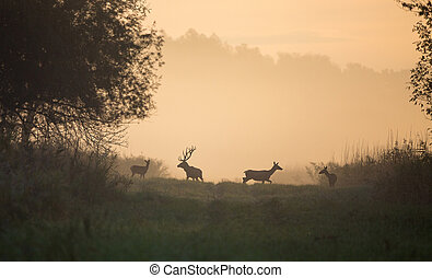 Red deer with hinds on foggy morning