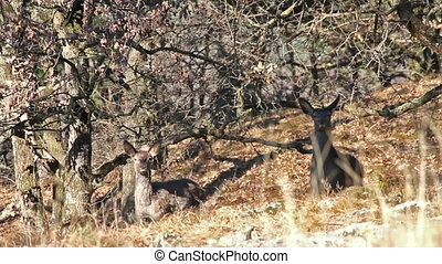 Red deers  in the forest