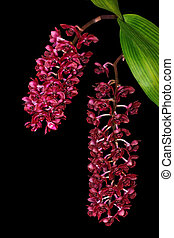 Dendrochilum Orchid
