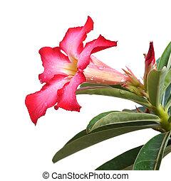Red Desert Flower, adenium obesum isolated on white