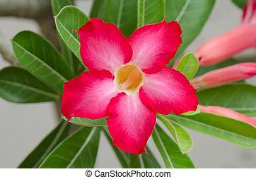 Red Desert Flower, adenium obesum