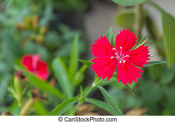 Red dianthus chinensis (China Pink) in the garden