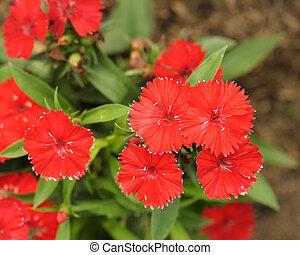 Red Dianthus flower in garden