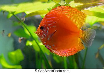 Red discus fish in the aquarium