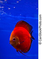 red discus fish on blue background