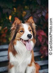 Red dog border collie portrait