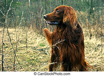 Red dog in forest