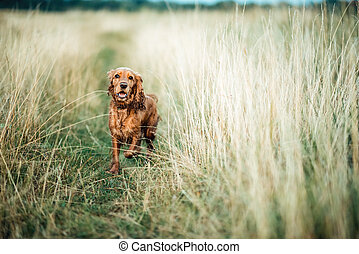 red dog in the grass