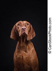 dog on a black background. Hungarian vizsla