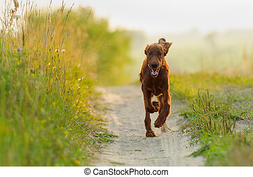 Red dog running against background green grass and sunset