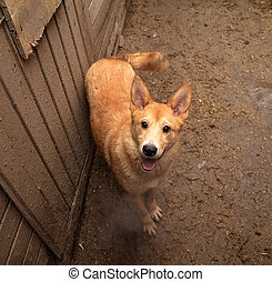 Red dog standing on ground