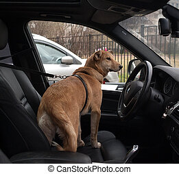 Red dog standing on seat of car