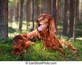 red Dog - Red irish setter dog
