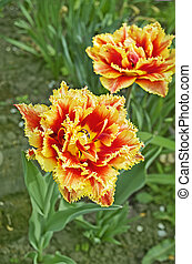 Red double tulip