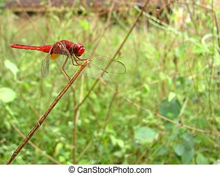 Red dragon fly 2