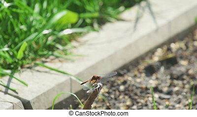 Red dragonfly catches a fly
