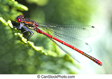 Red dragonfly clos up ( Pyrrhosoma nymphula) - Red dragonfly...