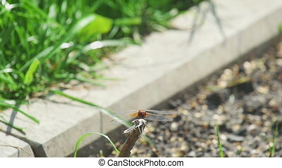 Red dragonfly eating fly - Red dragonfly in static close-up,...