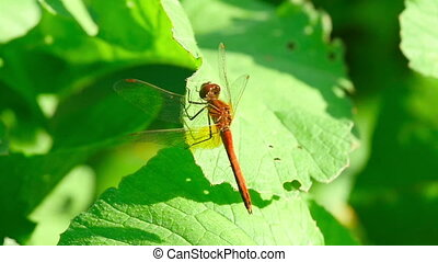 Red dragonfly in static and in flight, slow motion