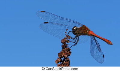 Red Dragonfly on a Branch on Blue Sky Background. Close-up....