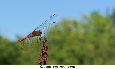 Red Dragonfly on a Branch on Green Plants Background - Red...