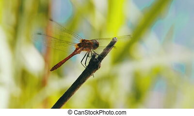 Red Dragonfly on a Branch