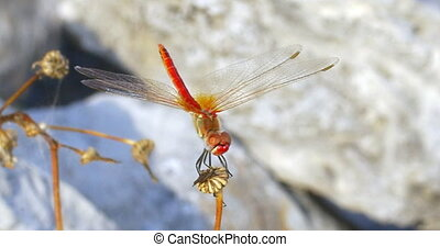Red Dragonfly on the Dry Plant - Closeup shot of red...
