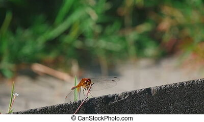 Red dragonfly rest - Red dragonfly in static close-up, slow...