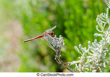 Red dragonfly rests on leaf