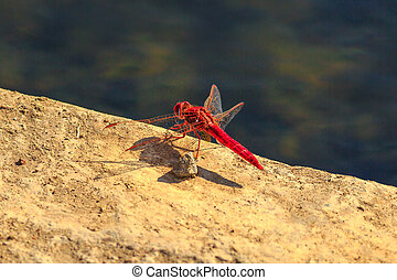 Red Dropwing Dragonfly - Macro of Red-veined Dropwing...