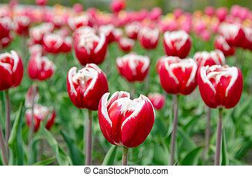 red Dutch tulips in field