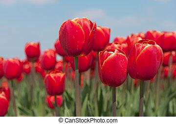 Red Dutch tulips